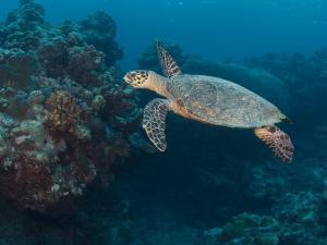 Hawksbill Turtle, Palau, Micronesia, Rock Islands, World Heritage Site, Western Pacific by Stuart Westmoreland