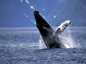 Humpback Whale Breaching, Inside Passage, Alaska, USA by Stuart Westmoreland