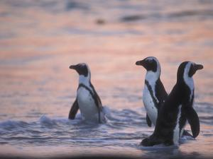 Jackass Penguin, Cape Town, South Africa by Stuart Westmoreland