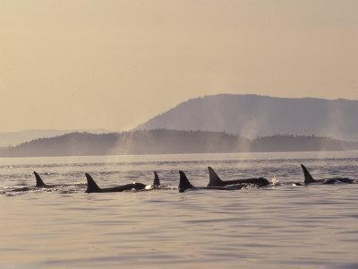 Orca Whales Surfacing in the San Juan Islands, Washington, USA