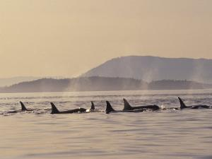 Orca Whales Surfacing in the San Juan Islands, Washington, USA by Stuart Westmoreland