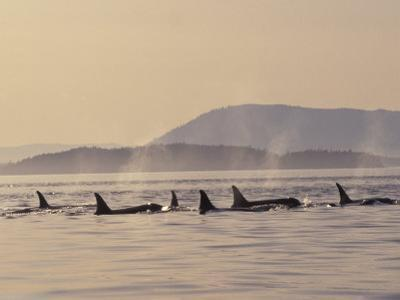 Orca Whales Surfacing in the San Juan Islands, Washington, USA by Stuart Westmoreland