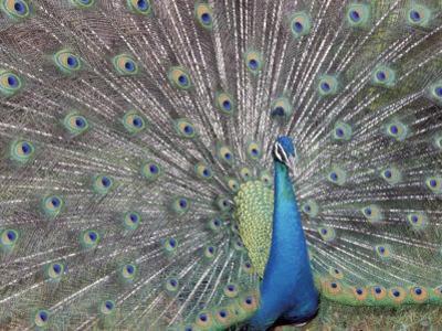 Peacock Displaying Feathers, Venezuela