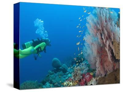 Scuba Diving Near Gorgonian Sea Fan and Schooling Anthias Fish, Raja Ampat Region of Papua