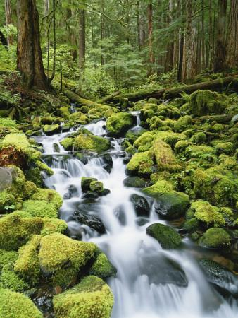 View of Creek in Old Growth Rainforest, Olympic National Park, Washington, USA