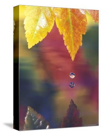 Vine Maple Leaf, USA