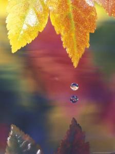 Vine Maple Leaf, USA by Stuart Westmoreland