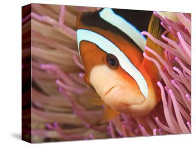 Anemonefish, Tukang Besi/Wakatobi Archipelago Marine Preserve, South Sulawesi, Indonesia