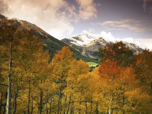 Aspen Tree, Snowcapped Mountain, San Juan National Forest, Colorado, USA by Stuart Westmorland