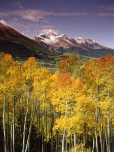 Aspen Tree, Snowcapped Mountain, San Juan National Forest, Colorado, USA by Stuart Westmorland