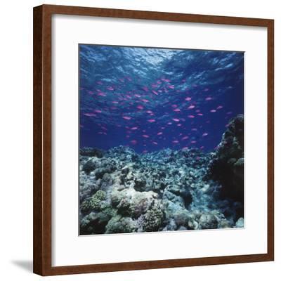 Australia, Yellowstriped Anthias Schooling in Great Barrier Reef