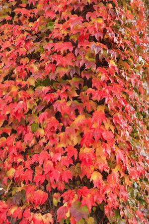 Autumn colored ivy decorating the front of The Fairmont Empress Hotel, Inner Harbor, Victoria, capi by Stuart Westmorland