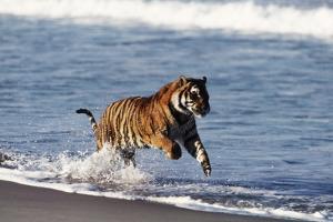 Bengal Tiger, Panthera Tigris by Stuart Westmorland
