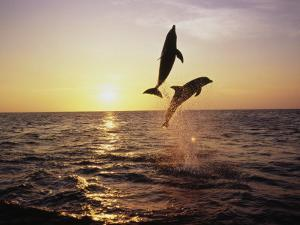 Bottlenose Dolphins in Mid-Air by Stuart Westmorland