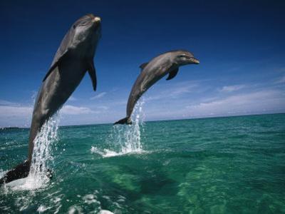 Bottlenose Dolphins, Tursiops Truncatus