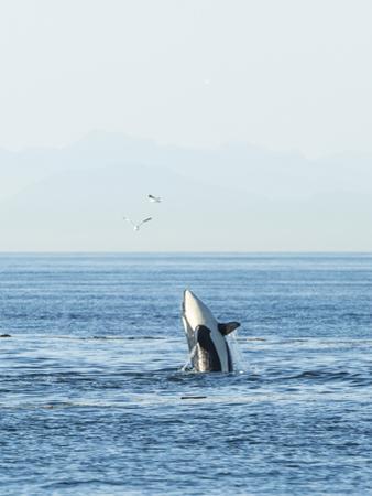Breaching Orca at Boundary Pass, border between British Columbia Gulf Islands Canada and San Juan I by Stuart Westmorland