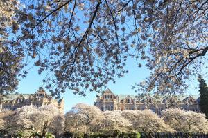 Cherry blossoms in full bloom, University of Washington campus, Seattle, Washington State, USA by Stuart Westmorland