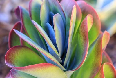 Close-up of succulent plants, San Diego, California, USA.