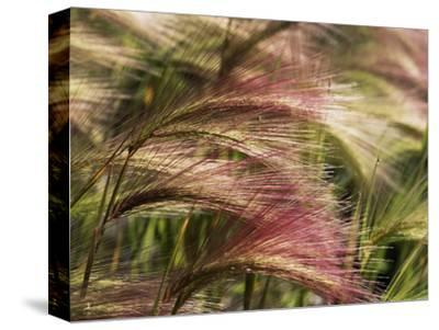 Foxtail Barley, Banff NP, Alberta, Canada