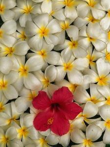 Hibiscus and Plumeria Blooms by Stuart Westmorland