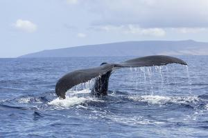 Humpback Whale, whale Watching off Maui, Hawaii, USA by Stuart Westmorland