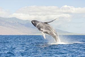Humpback Whale, whale watching off Maui, Hawaii, USA by Stuart Westmorland