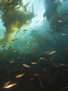 Juvenile Copper Rockfish Hiding Among, Giant Kelp, Browning Passage, British Columbia, Canada by Stuart Westmorland