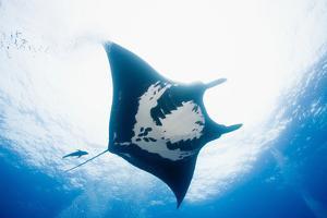 Manta Ray by Stuart Westmorland