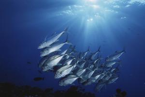 New Britain, New Guinea, School of Jackfish in Undersea by Stuart Westmorland