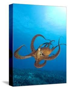 Octopus cyanea or Day Octopus by Stuart Westmorland