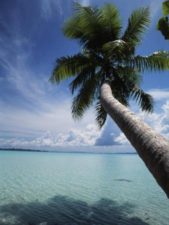 Palau, Micronesia, Palm Tree at Palau Lagoon by Stuart Westmorland