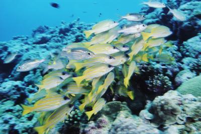 Palau, Yellowstripe Snapper, Lut Janus Kasmica by Stuart Westmorland