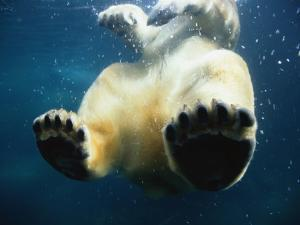 Paws of a Floating Polar Bear by Stuart Westmorland