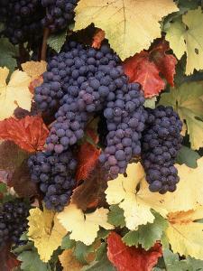 Pinot Noir Grape, Close-Up, Willamette Valley, Oregon, USA by Stuart Westmorland