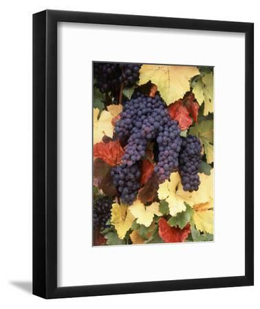 Pinot Noir Grape, Close-Up, Willamette Valley, Oregon, USA