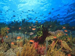 Schooling Anthias Fish, Wetar Island, Banda Sea, Indonesia by Stuart Westmorland