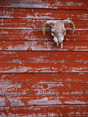 Steer Skull Hanging on a Barn Wall