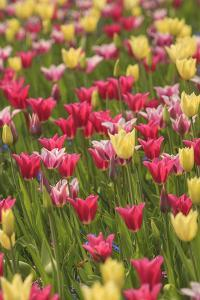 Tulips and other colorful spring flowers, Victoria, British Columbia, Canada by Stuart Westmorland