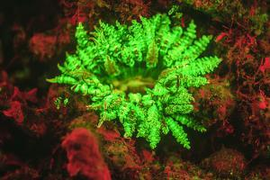 Underwater fluorescence emitted and photographed using special barrier filter. Branching Anemone, A by Stuart Westmorland