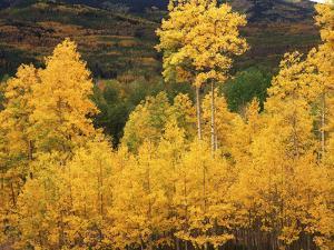 View of Autumn Aspen Grove on Mountain, Telluride, Colorado, USA by Stuart Westmorland