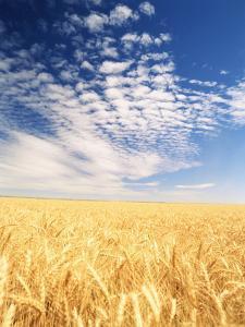 View of Wheat Field, Palouse, Washington State, USA by Stuart Westmorland