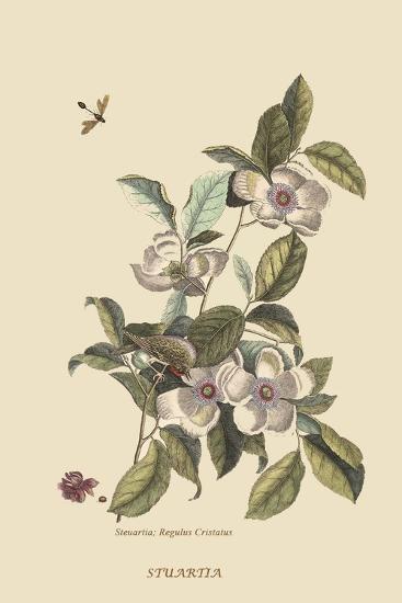 Stuartia - Camellia-Mark Catesby-Art Print