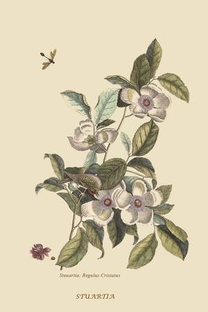 https://imgc.artprintimages.com/img/print/stuartia-camellia_u-l-pqpmyt0.jpg?p=0