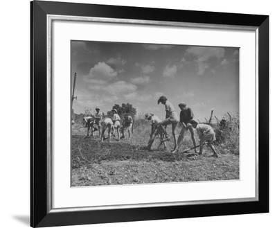 Students Working in Kibbutz Garden--Framed Photographic Print