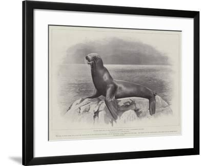 Studies from Life at the Zoological Gardens, a Californian Sea-Lion--Framed Giclee Print