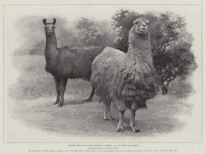 Studies from Life at the Zoological Gardens, Peruvian Llamas