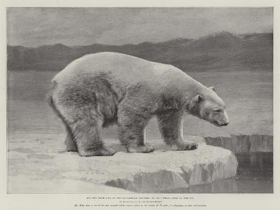 Studies from Life at the Zoological Gardens, Polar Bear on the Ice--Giclee Print