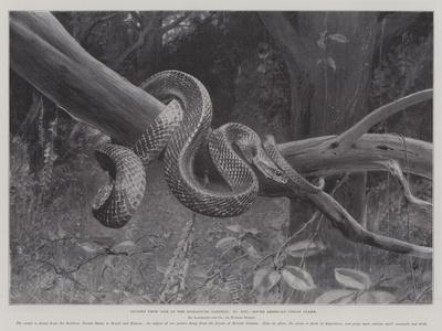 https://imgc.artprintimages.com/img/print/studies-from-life-at-the-zoological-gardens-south-american-corais-snake_u-l-pv4f3c0.jpg?artPerspective=n