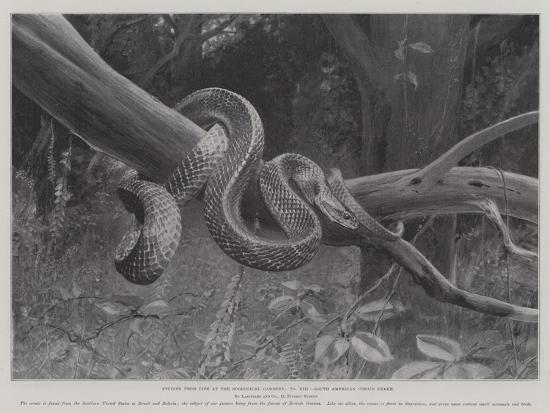 Studies from Life at the Zoological Gardens, South American Corais Snake--Giclee Print