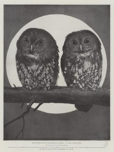 Studies from Life at the Zoological Gardens, Tawny Owls--Giclee Print